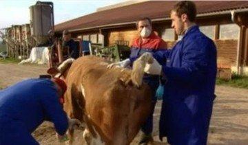 Применение молочной кислоты для лечения животных