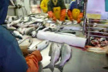 Применение молочной кислоты для предохранения свежей рыбы от порчи